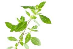 Gröna nya blad för söt basilika som isoleras på vit bakgrund Royaltyfri Fotografi
