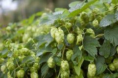 Gröna nya flygturkottar för framställning av öl och av bröd i sommaren på flygturfält royaltyfria bilder