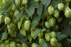 Gröna nya flygturkottar för framställning av öl och av bröd i sommaren på flygturfält arkivbild