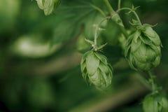 Gröna nya flygturkottar för framställning av öl- och brödcloseupen, jordbruks- bakgrund royaltyfri foto