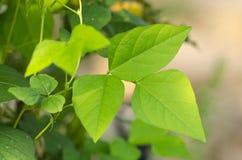 Gröna nya organiska sidor av vingbönor i växt med grunt D Arkivfoton