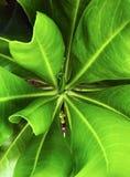 Gröna nya saftiga sidor av ett närbildskott för tropisk växt royaltyfri bild