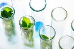 Gröna nya växter som är fullvuxna upp i provrör i laboratorium Arkivbild