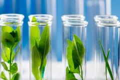 Gröna nya växter som är fullvuxna upp i provrör i laboratorium Royaltyfri Fotografi