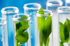 Gröna nya växter som är fullvuxna upp i provrör i laboratorium Fotografering för Bildbyråer
