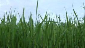 Gröna nya växter spirar i ett fält med droppar efter regndockaskott arkivfilmer