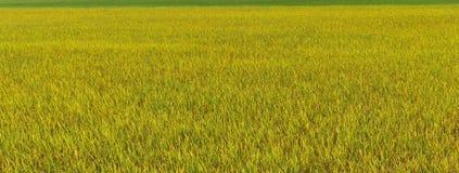 Gröna och gula ris i fältet för bakgrund arkivfoto