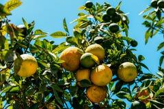 Gröna och mogna apelsiner i träd Royaltyfri Foto