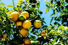 Gröna och mogna apelsiner i träd Fotografering för Bildbyråer