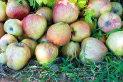 Gröna och röda äpplen som bakgrund Arkivfoto