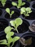Gröna och röda grönsallatplantor en trädgårds-barnkammare fotografering för bildbyråer