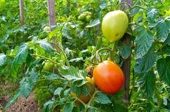 Gröna och röda tomater Royaltyfri Foto