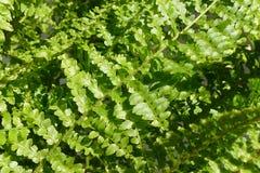 Gröna och skimrande ormbunkesidor arkivfoto