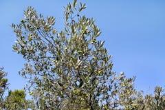 Gröna oliv i en olivträdfilial Olivträd med gröna oliv, slut upp Begrepp av oliv, tradition Arkivbilder
