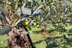 Gröna oliv i en olivträdfilial Olivträd med gröna oliv, slut upp Begrepp av oliv, tradition Royaltyfri Fotografi