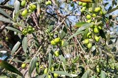 Gröna oliv i en olivträdfilial Olivträd med gröna oliv, slut upp Begrepp av oliv, tradition Royaltyfri Bild