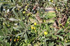 Gröna oliv i en olivträdfilial Olivträd med gröna oliv, slut upp Begrepp av oliv, tradition Royaltyfri Foto