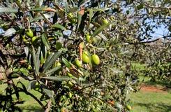 Gröna oliv i en olivträdfilial Olivträd med gröna oliv, slut upp Begrepp av oliv, tradition Arkivfoto