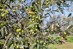 Gröna oliv i en olivträdfilial Olivträd med gröna oliv, slut upp Begrepp av oliv, tradition Arkivbild