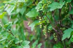 Gröna omogna vinbär i trädgården Royaltyfri Fotografi