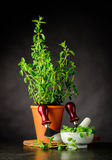 Gröna oreganon med Herb Chopper Fotografering för Bildbyråer
