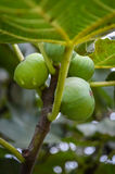 Gröna organiska fikonträd Royaltyfri Fotografi