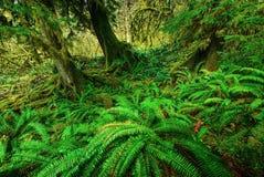 Gröna ormbunkar Fotografering för Bildbyråer