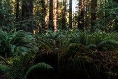 Gröna ormbunkar bland träden på avenyn av jättarna, Kalifornien, USA royaltyfri foto