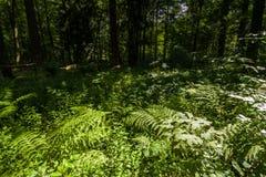 Gröna ormbunkar i skogen Royaltyfri Fotografi