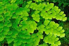 Gröna ormbunkesidor royaltyfria bilder
