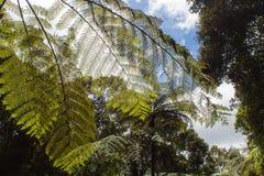 Gröna ormbunkesidor för jätte Royaltyfri Foto