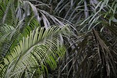 Gröna ormbunkesidor i den Bali djungeln Indonesien Royaltyfri Bild