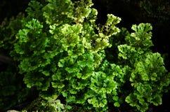 Gröna ormbunkeväxter Royaltyfria Bilder