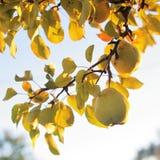 Gröna päron i guld- solljus royaltyfria foton