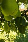 Gröna päron som hänger i träd Royaltyfria Foton
