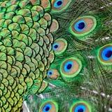Gröna påfågelfjädrar för man royaltyfri bild
