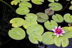 Gröna Pacman Royaltyfri Fotografi