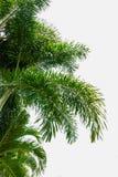 Gröna palmblad Royaltyfria Foton