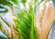 Gröna palmblad i mjukt solljus Naturlig bakgrund för tropisk växt royaltyfri fotografi