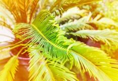 Gröna palmblad i solljus Naturlig bakgrund för tropisk växt royaltyfria bilder