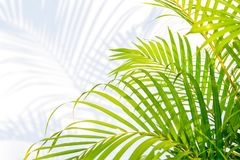 Gröna palmblad och skuggor på en vit väggbakgrund fotografering för bildbyråer