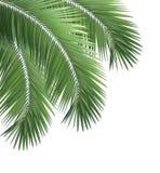 Gröna palmblad på vit bakgrund Arkivfoton