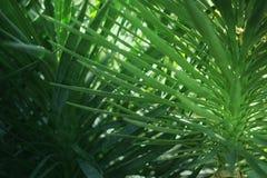 Gröna palmblad som är tropiska gömma i handflatan busksnår, tropisk bakgrund för rainforestgrönskanatur Royaltyfri Fotografi