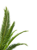 Gröna palmblad som isoleras på vit royaltyfri fotografi