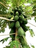 Gröna papayas på papayaträd Royaltyfri Foto