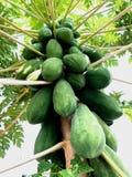 Gröna papayas på papayaträd Arkivfoto
