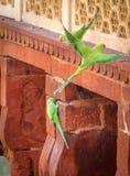 Gröna papegojafåglar på den Agra fortväggen - Agra, Indien Royaltyfri Bild