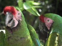 gröna papegojor arkivfoton