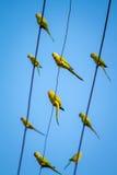 Gröna papegojor för indierRingnecked parakiter Arkivbild