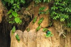 Gröna papegojor på lera slickar att äta mineraler, gröna amazons i den tropiska skogen, Brasilien, djurlivplats från den tropiska royaltyfria foton